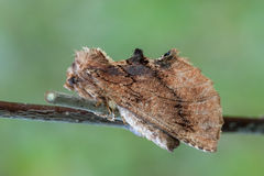 The Coxcomb Prominent Royalty Free Stock Images