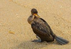 Coy Cormorant på stranden arkivfoton
