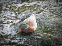 Coy Duck. A duck in river looking very coy royalty free stock photos