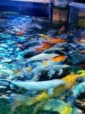 Coy Fish ad Austin Aquarium fotografie stock libere da diritti