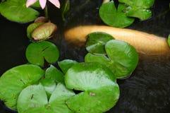 Coy Fish In bianco uno stagno con Lily Pads Immagini Stock