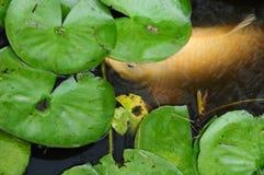 Coy Fish In bianco uno stagno con Lily Pads Immagine Stock