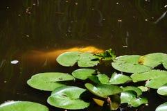 Coy Fish In bianco uno stagno del giardino del cortile Immagini Stock Libere da Diritti