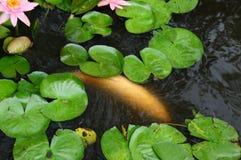 Coy Fish In blanco una charca con Lily Pads Imagen de archivo