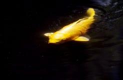 Coy Fish die in donkere wateren zwemmen Stock Foto