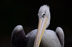 Coy pelican Stock Photo