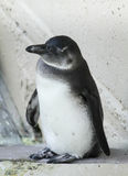 Coy Penguin Royaltyfria Foton