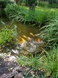 Coy pond stock photo