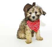Coyboy Puppy. Sweet little puppy dressed up in a cowboy outfit, on a white background Stock Photos