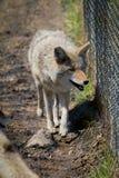 Coyote à côté de barrière Image libre de droits