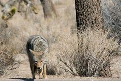 Coyote, árbol de Joshua Fotos de archivo