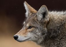 Free Coyote Royalty Free Stock Photo - 100027885