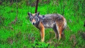 coyote Photo libre de droits