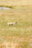Coyote Image stock