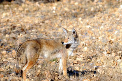 Coyote. A Coyote in the wild Royalty Free Stock Photos