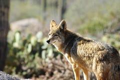 Coyote immagini stock