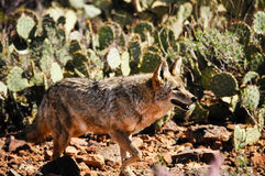 Coyote Stock Photos