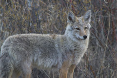 Coyote Photographie stock