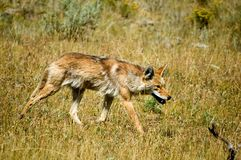 Coyote Fotografie Stock