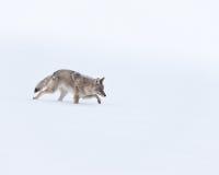 Coyote Imagenes de archivo