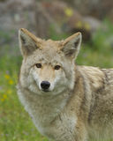 Coyote Stock Photography