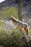 Coyote Royalty Free Stock Photography