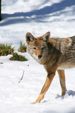 Coyote -2 Royalty Free Stock Image