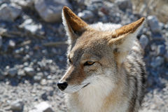 Coyote #2. Coyote begging in death valley, California Royalty Free Stock Images