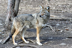 Coyote -2 Stock Image