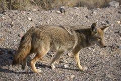 Coyote Fotografie Stock Libere da Diritti