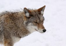 Coyote. Face of coyote in nature during winter Royalty Free Stock Image