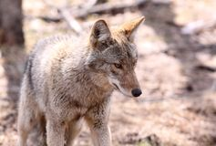 Coyote. In nature during summer Stock Photos