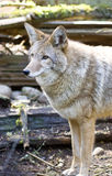 Coyote American Jackal Standing Looking Off Camera Royalty Free Stock Photography