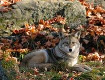 Coyote stock foto