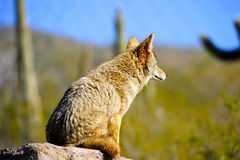 Coyote Stock Images