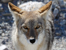 Coyote. In Begging for food in Death Valley, Califrnia Stock Images