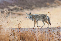 Coyote. Prowling  on the farm road in Bosque del Apache national wildlife refuge in New Mexico Royalty Free Stock Image