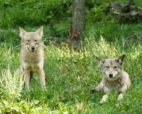 Coyote Fotografia Stock Libera da Diritti