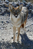 Coyote #3 Stock Image