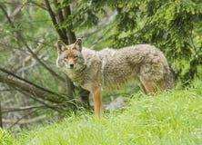 Coyote Fotografie Stock