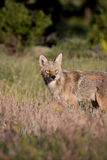 Coyote. Taken in the Rocky Mountain National Park, Colorado Royalty Free Stock Photography