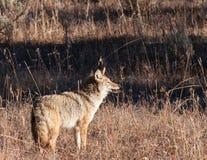 Coyote Fotografía de archivo libre de regalías
