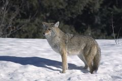 Coyote. images stock