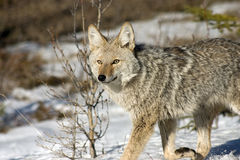 Coyote. Coyote shot in Jasper National Park Royalty Free Stock Photography