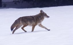 Coyote. Trotting across a snowy meadow royalty free stock photography
