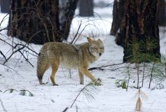 Coyote. Watching from the woods stock photos