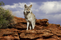 Coyote. Standing on red sandstone ledge with blue sky and white clouds in background Royalty Free Stock Images