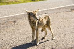 coyote Royalty-vrije Stock Afbeeldingen