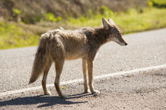 coyote Stock Fotografie