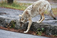 Coyote. Walking on the parking lot, Yellowstone NP Royalty Free Stock Photo